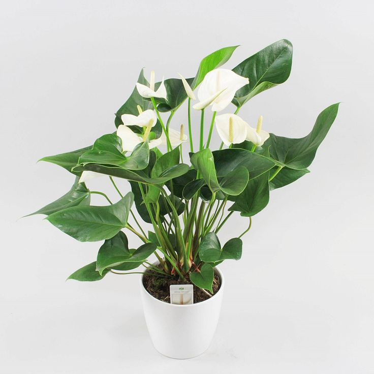 Anthurium andr. White Winner Ø17cm in Boston ceramic