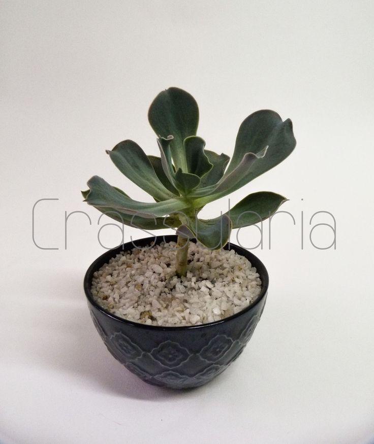 Echeveria Gibbiflora grande, en base cerámica azul oscuro y cuarzo blanco. $15.000 www.facebook.com/suculentascrassularia
