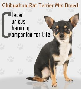 Traits of Chihuahua-Rat Terrier mix dog breed