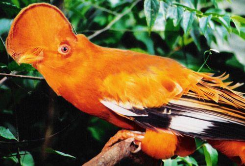 Observação de Pássaros | AmazonasTur