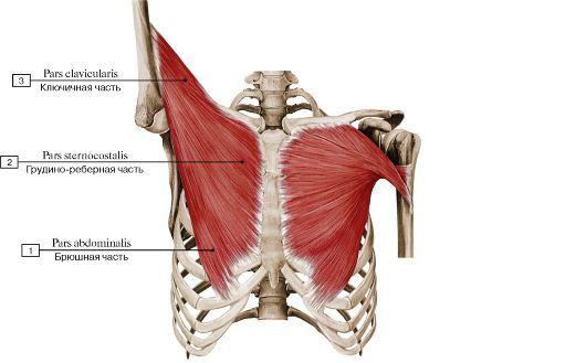 1 � pars abdominalis 2 � pars sternocostalis 3 � pars