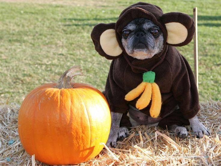 halloween pug - Pugs Halloween Costumes