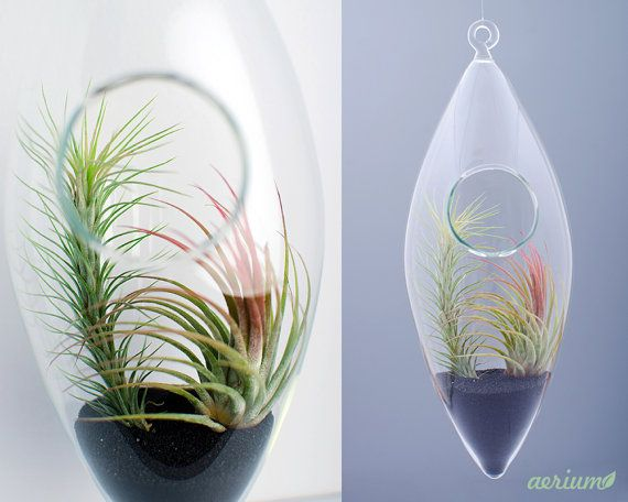 Beautifully handmade terrarium by romanian glass artisans. Dimensions are about 22 cm height and about 8 cm. This is borosilicate glass which is handmade, mouth-blown.  Airplants are included. https://www.etsy.com/shop/Aerium