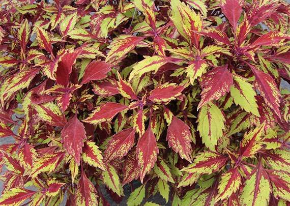 220 best Coleus Plants images on Pinterest Shade plants Shaded