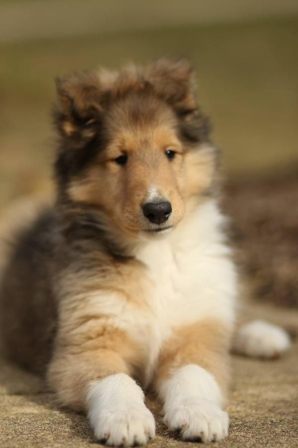 Akc Rough Collie Breeder With Champion Bloodlines In Union Lake Michigan Hoobly Classifieds Rough Collie Collie Puppies Collie