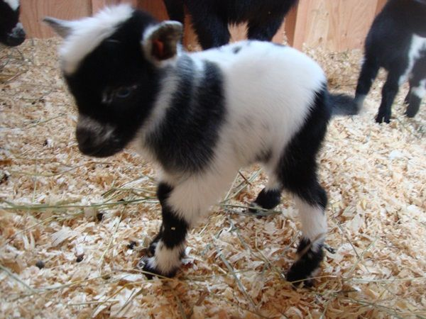 Miniature Goats for Sale | Little Avalon Farm » Goats for Sale
