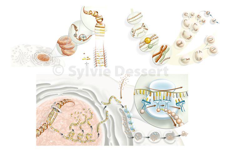 ADN - Cellule - chromosome - ribosome - ARN - division …