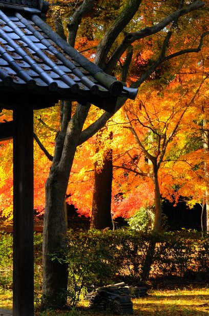Autumn leaves shining - Shinshogokuraku-ji temple (Shinnyo-do), Kyoto, Japan