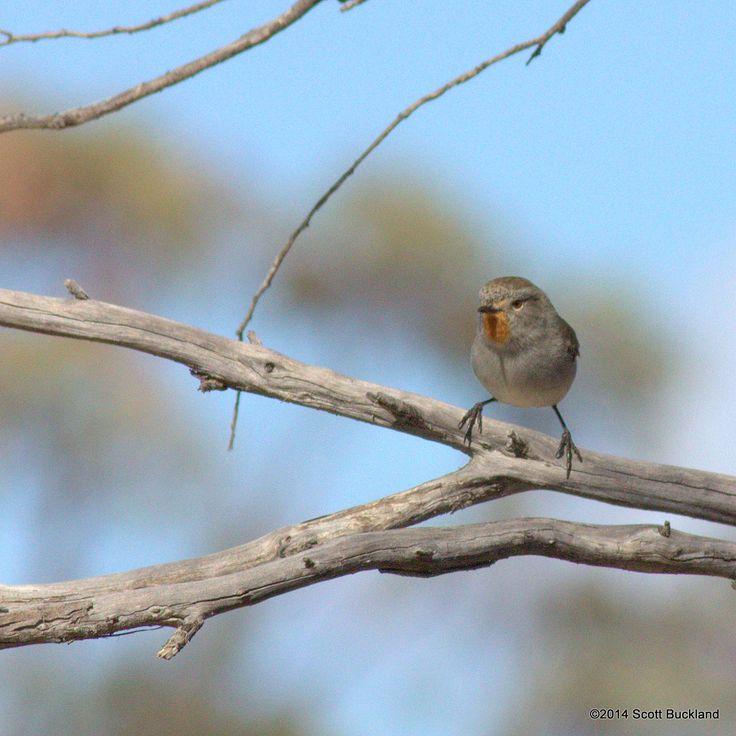 Redthroat - South Bodallin, Western Australia - ©2014 Scott Buckland