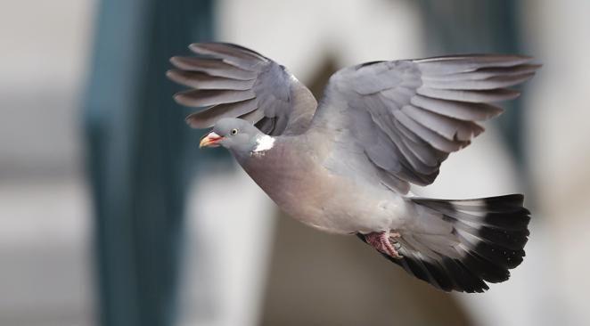 Belgique : un pigeon voyageur contrôlé positif à la cocaïne après une compétition