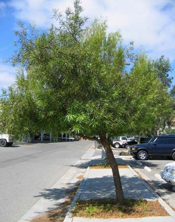 best drought resistant trees images on, Natural flower