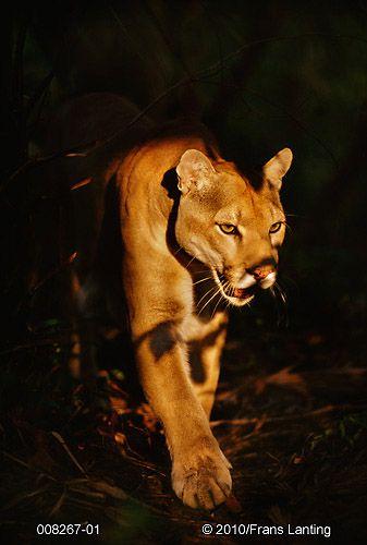Lanting, Frans - Photographer | Frans Lanting, Cougar, Puma concolor