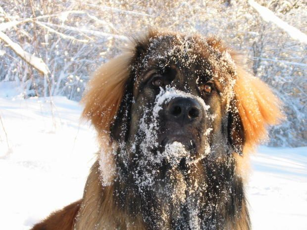 9 Impressive Facts About the Leonberger