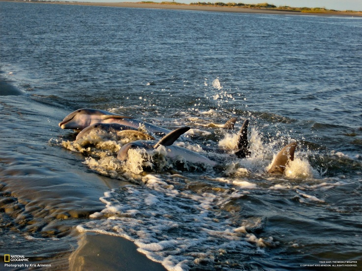 90 best images about wildlife sightings on kiawah on for Fish charleston sc