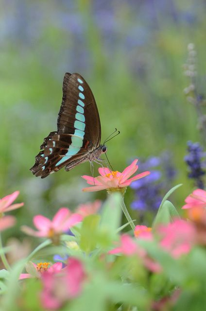 zinnia attracts butterfly