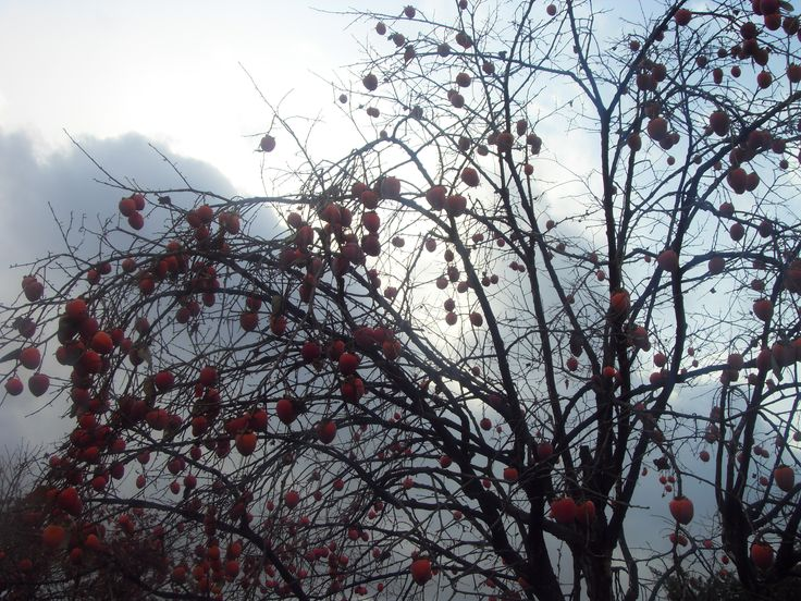2015.12.3. Persimmon tree in the garden. Have a good day.