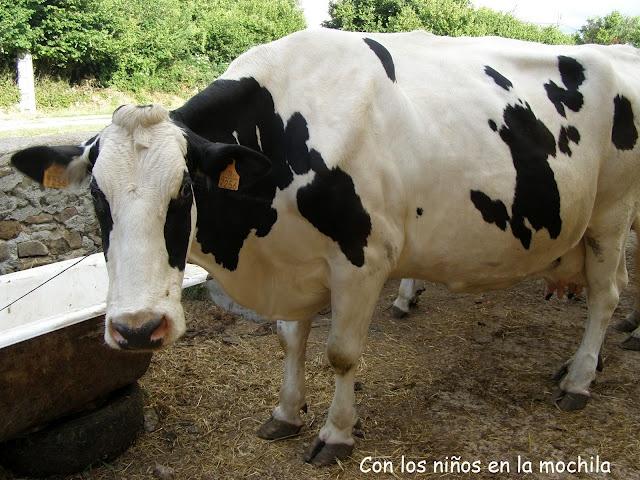 Mira que linda vaca lechera. Son realmente enoooooooormes. Y cuando tienen las ubres llenas impresionan mucho.