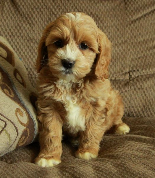 Gorgeous COCKAPOO Puppies available now!