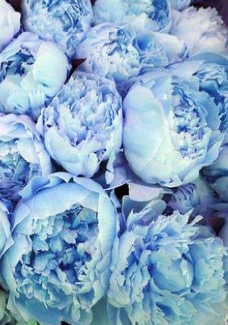 Peonias Azuis