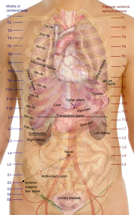 Surface projections of the major organs of the trunk, using the vertebral column and rib cage as main reference points of superficial anatomy. The transpyloric plane and McBurney's point are among the marked locations. Locations of specific organs: The following vertebral levels are generally given by the middle of the vertebral body: The oblique fissure of the right lung goes from the spinal process of thoracic vertebra 3 towards the navel The horizontal fissure goes along the 4th rib...