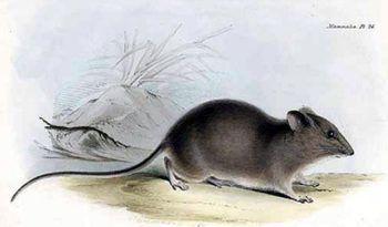 Galapagos Rice Rat - Facts, Diet & Habitat Information
