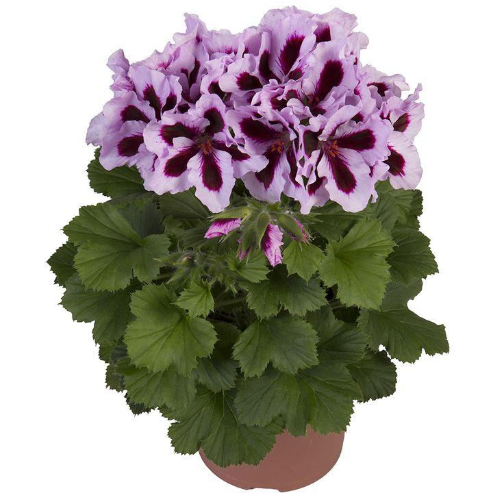 Martha Washington Geraniums Care: 601 Best Geranium & Pelargonium Images On Pinterest