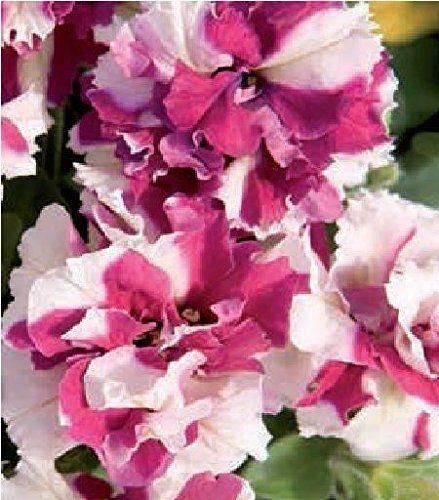 Petunia doubke pirouette rose and white