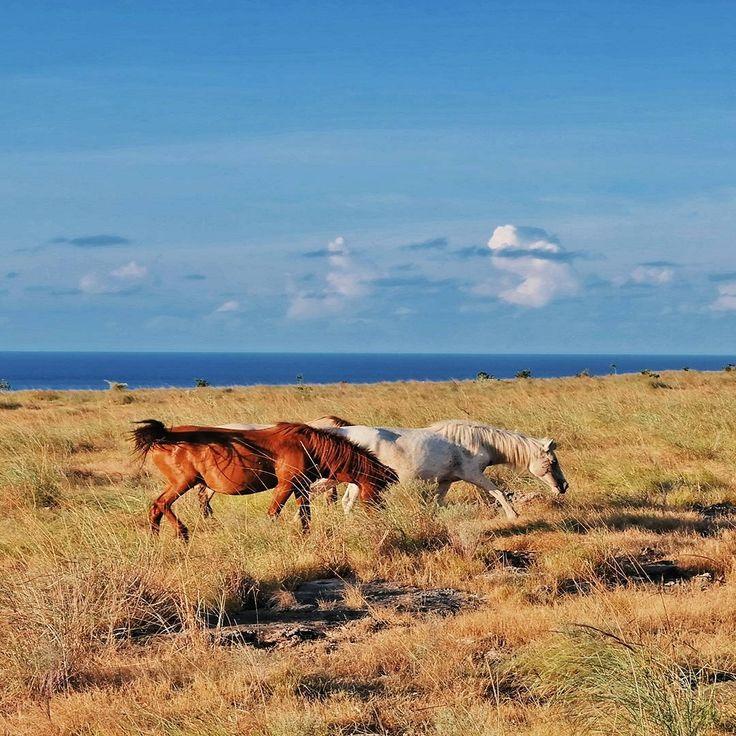 Sumba Landscape... Di Pulau Sumba terbentang padang sabana luas. Sekitar 68 persen wilayahnya berupa hamparan padang rumput, yang menjadi tempat hidup bagi kuda-kuda Sumba yang dikenal dengan nama Kuda Sandelwood.