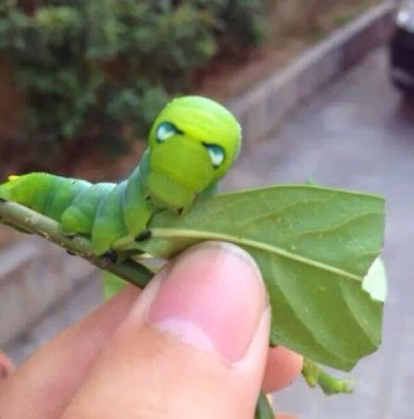 Seu Mundo : Lagarta verde tem estranha semelhança com Homem de Ferro - See more at: http://seumundo.com.br/index.php?pg=noticia&id=787#sthash.6DJzMJ14.dpuf