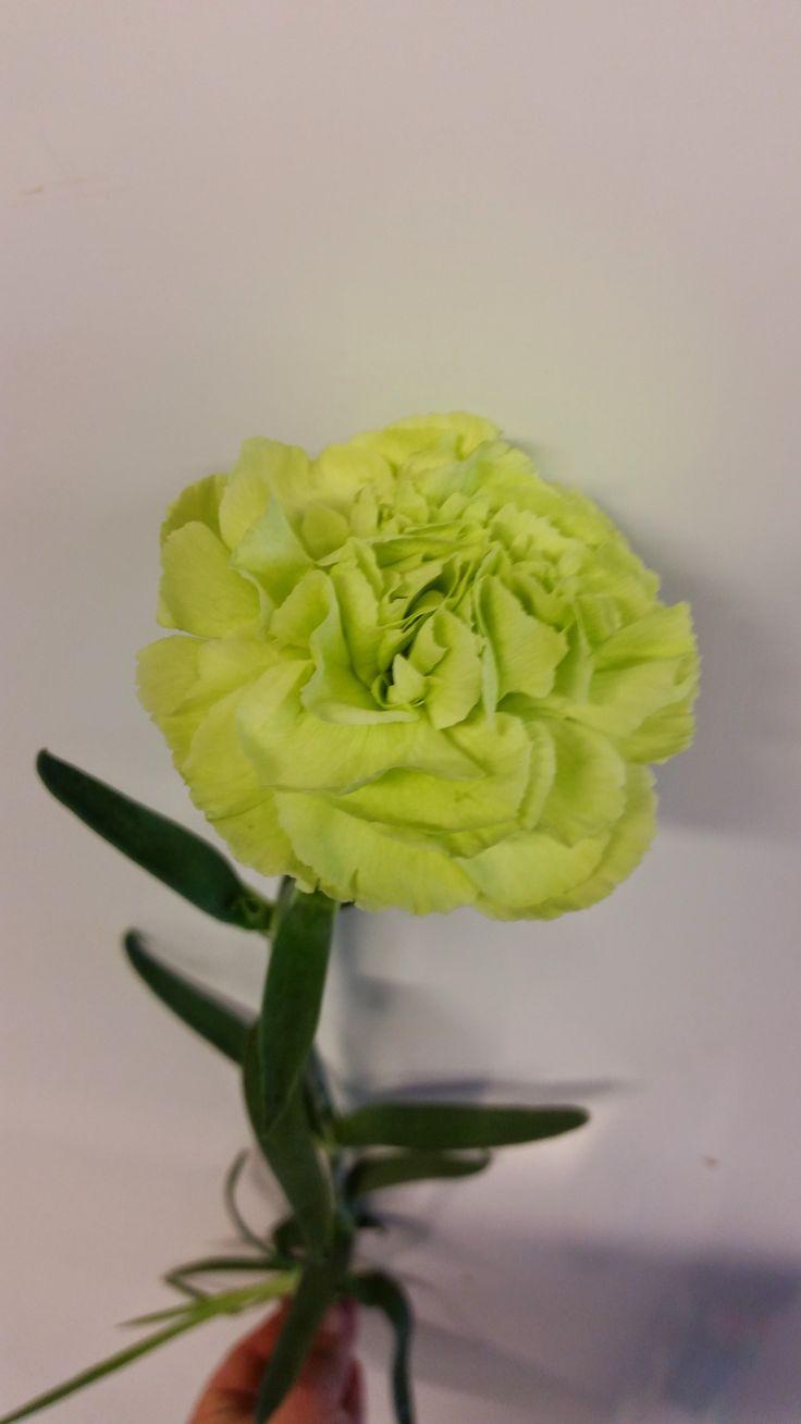 Grønn Nellik dianthus