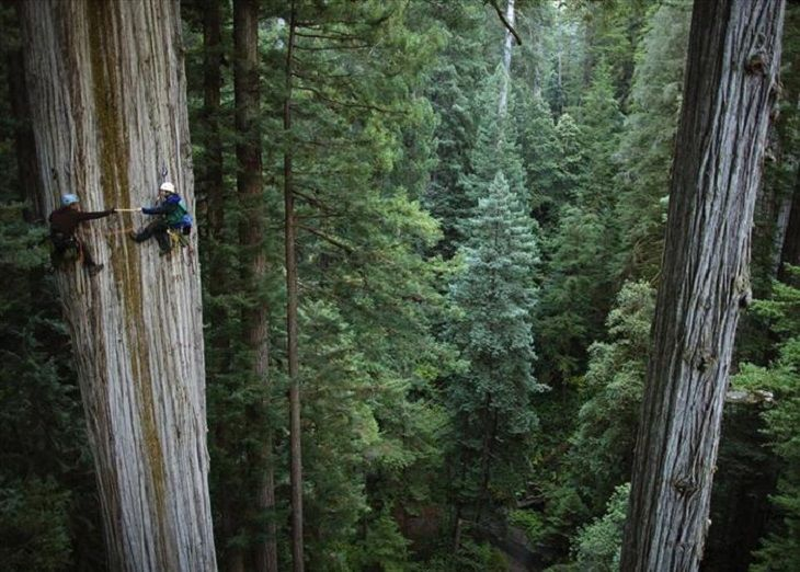 Trees - Beauty - Nature Climbing a 750-year old Giant Sequoia tree, California