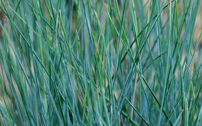 Festuca glauca 'Elijah Blue' breezy sea grass