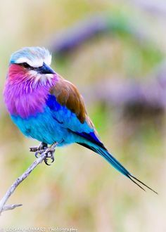 Lilac crested roller, Tanzania Africa