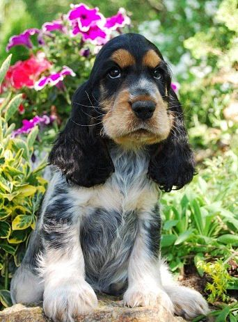 blue roan tan cocker spaniel