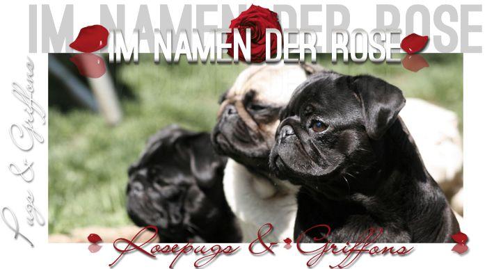 Mopszucht, Mopszüchter, Mopswelpe, Mops, Zwerggriffon, Rheinland-Pfalz ROSEPUGS   Pugs & Griffons   Im Namen der Rose & Rosetale`s