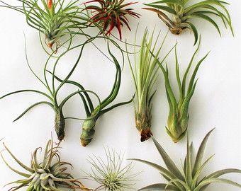 10 Best Air Plants Great Indoor Plants Hanging Terrarium