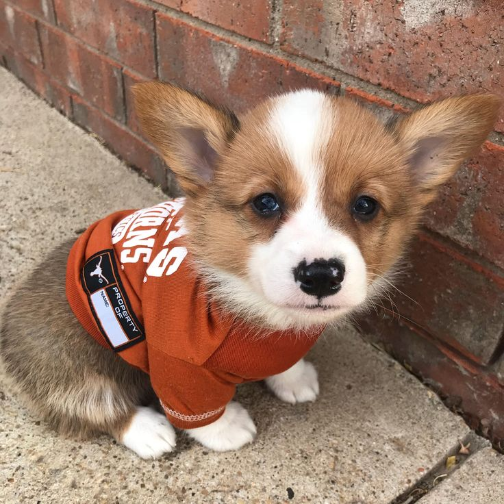 after years of being in love and obsessed with corgis... I finally got my very own.http://ift.tt/2BDFYWy