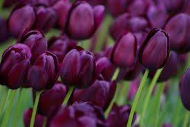 Image result for black tulips