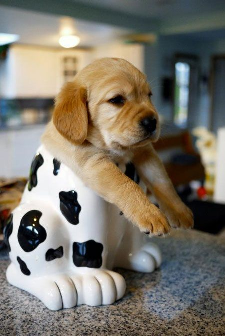 Half Dalmatian half Lab: Cookies Monsters, Dogs, Animal Baby, So Cute, Pet, Baby Animal, Little Puppys, Cookies Jars, Golden Retriever