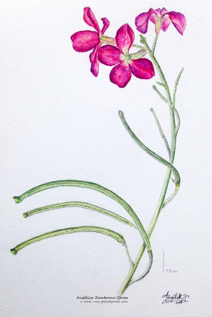 Watercolor plant illustration. Planta en acuarela. Tunja, Colombia. Botanical Scientific illustration.