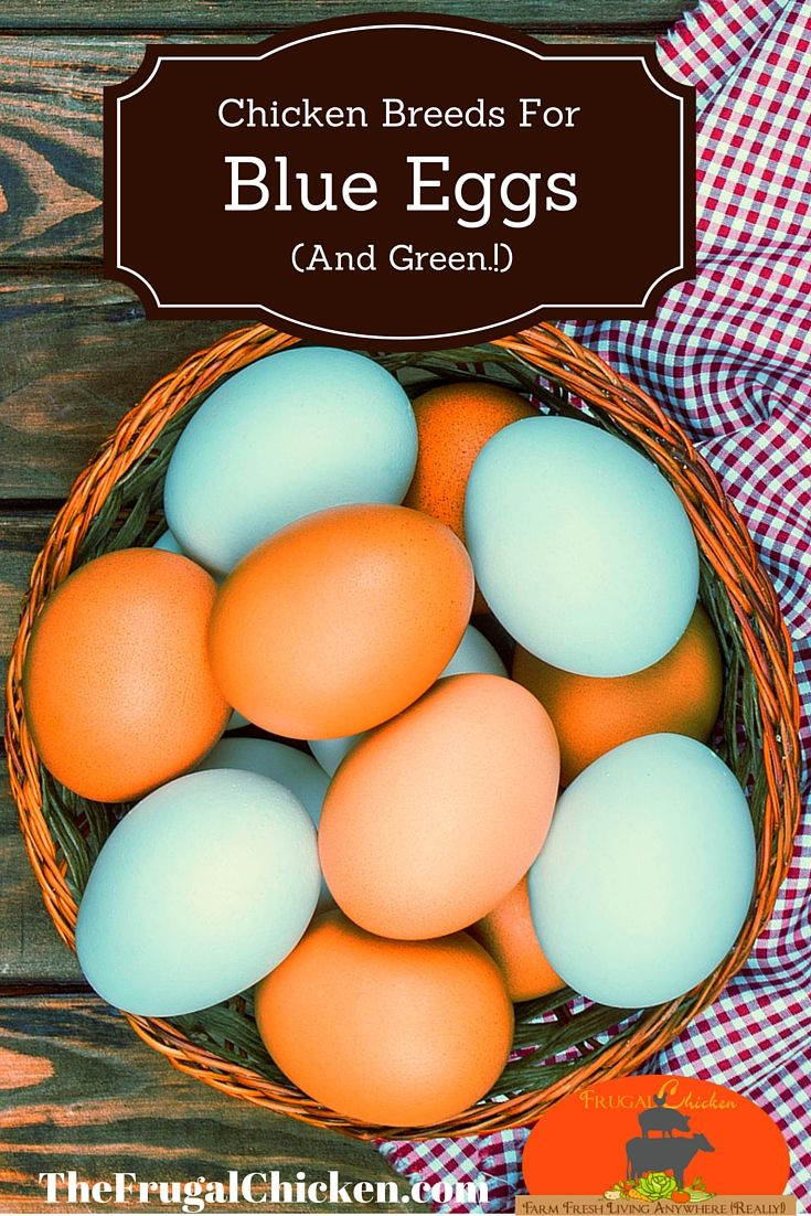 Here's chicken breeds guaranteed to lay blue eggs plus how to make sure you're getting the right breed.