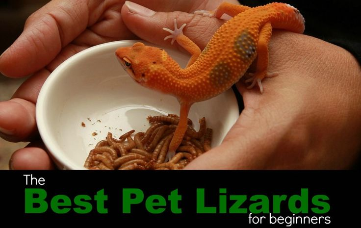 The best pet lizards for beginners. Useful tips for anyone interested in pet reptiles.