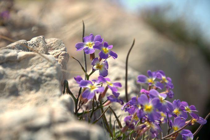 wild flowers  Anavyssos seaside,Attiki,Greece