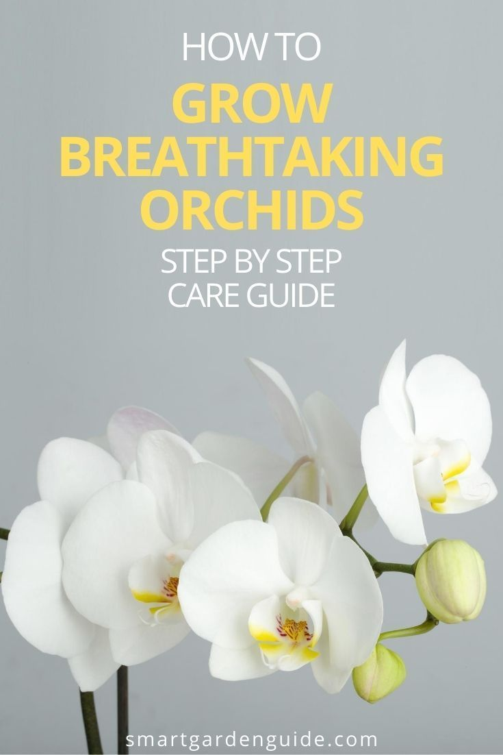 Phalaenopsis Orchid Care For Beginners Easy Guide Smart Garden Guide In 2020 Orchid Care Phalaenopsis Orchid Phalaenopsis Orchid Care
