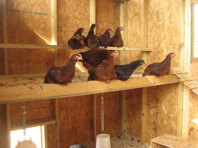Can I See Some Roost Set Up Pictures Chicken Coop Ideas