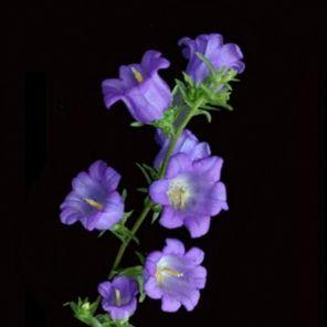 Bulk Discount Flowers - Purple Campanula Flower