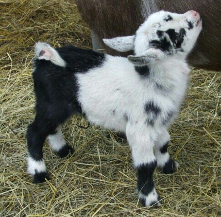 36 best BABY GOATS images on Pinterest | Farm animals, Animal babies ...