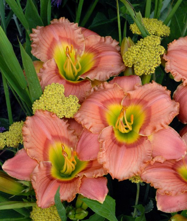 how to cut lilies after blooming