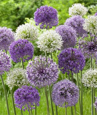 "Allium, Rosenbachianum Mix Large globes that are the earliest to flower. This is a brilliant mix for the beginner bulb gardener. Easy to grow and rare, these alliums produce 5"" globes of star-shaped flower heads in purple, white and blue. lifecycle: Perennial Zone: 4-8 Uses: Beds, Borders, Cut Flowers, Dried Flowers Sun: Full Sun Height: 2-3 feet Spread: 2-3 inches"