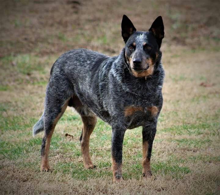 My Blue Heeler Australian Cattle dog Spoke!